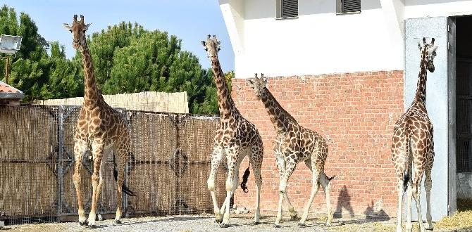 Zürafa Zarife'nin yalnızlığı sona erdi