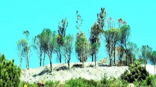 Yeşile boyadıkları ağaçları kestiler
