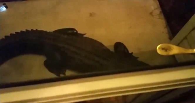 Kapının önünde dev bir timsah!
