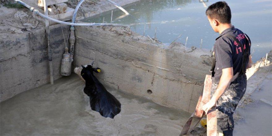 Havuza düşen ineğin imdadına iftaiye ekipleri yetişti