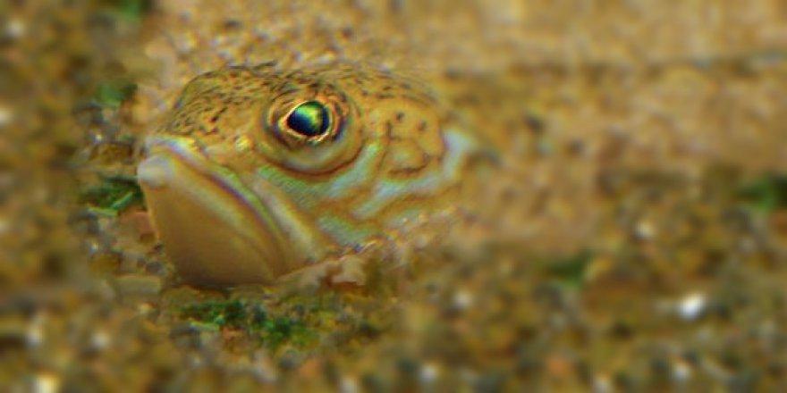 Katamonu'da 'Trakonya' balığı dehşeti