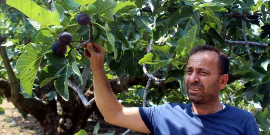 Dünyaca ünlü siyah incire ihracat yasağı