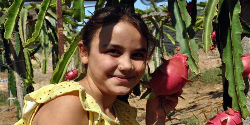 Antalya'da pithaya hasadı başladı. Tanesi 14 lira