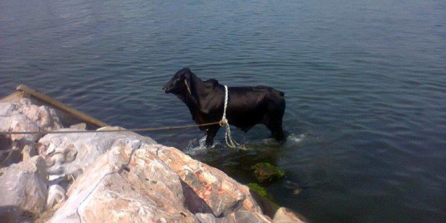 İzmir Körfezi'nde 'Angus' paniği
