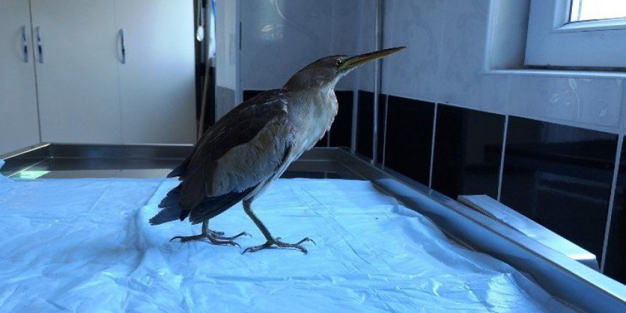 Nesli Tükenen 'Hint Gölet Balıkçıl' Kuşu Tedavi Edildi