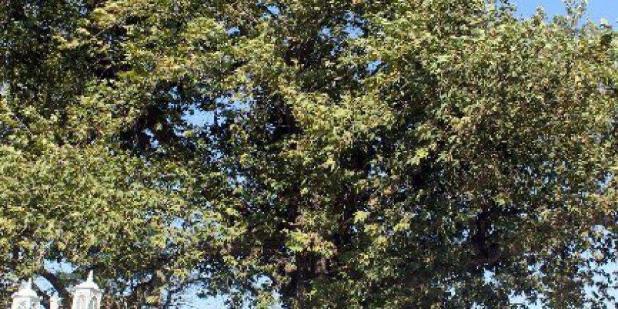 Atatürk'ün Dalını Kesmemek için Köşkünü Yürüttüğü Çınar Ağacı 400 Yaşına Girdi!