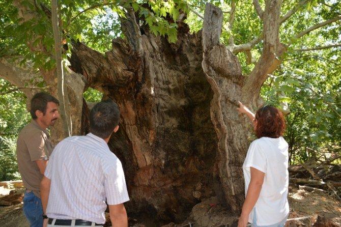 Denizli'de Bin 200 Yıllık Ağaç Bakıma Alındı
