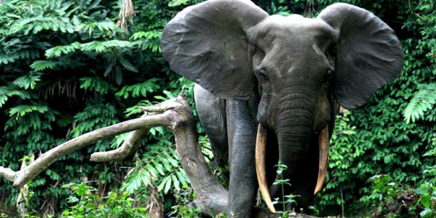 Afrika fil nüfusu açıklandı! Fil nüfusu gerilerdi..