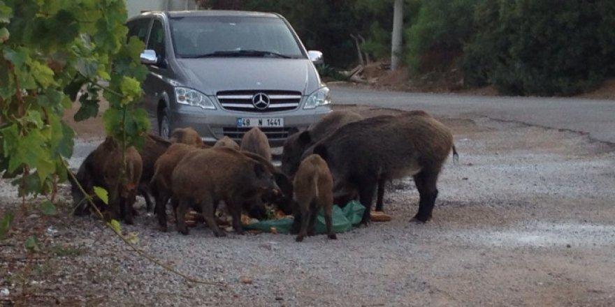 Muğla'da aç kalan domuzlar şehre indi