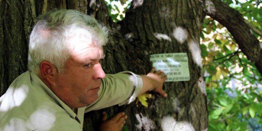 Türkiye'nin En Yaşlı Kestane Ağacı Kütahya'da