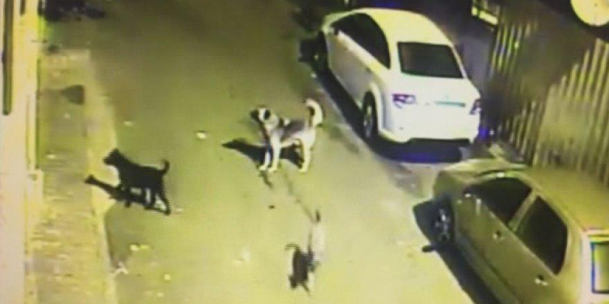Arnavutköy'de sokak köpekleri korku saçıyor
