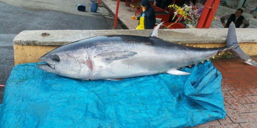 Çanakkale'de 200 Kiloluk Orkinos Kilosu 20 Liradan Satışa Sunuldu