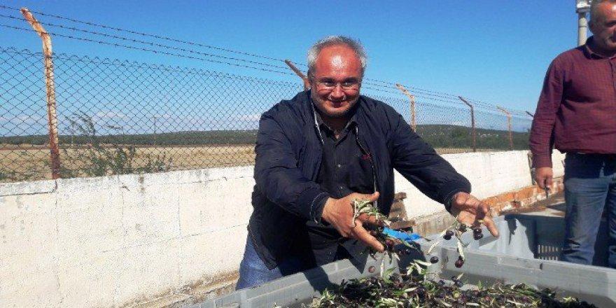 Ayvalık'ta Zeytin Üreticisi Kurban Keserek Hasada Başladı