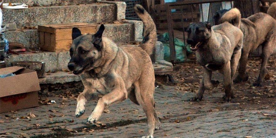 Uşaklı Hayvanseverler, 'Panter Kangal' ırkını Uşak'ta yetiştiriyor