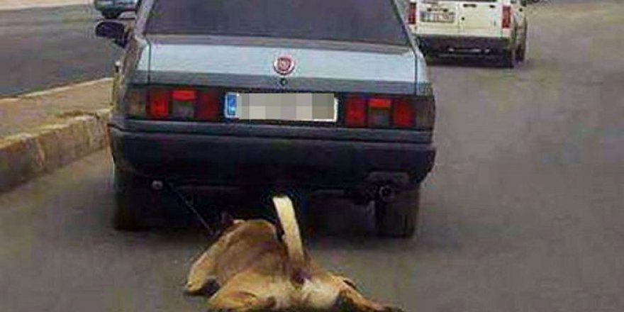 Tekirdağ'da işkenceden kurtarılan kangal cinsi köpek yeni sahibini bekliyor