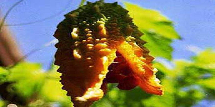 Şifalı Bitki Kudret Narının Bilinmeyen Faydaları