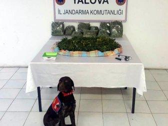 """Yalova'da """"Skunk"""" uyuşturucu ele geçirildi"""