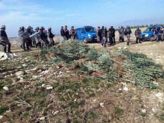 Manisa, Salihli'de İzinsiz Dikilen 17 Bin Zeytin Fidanı Söküldü