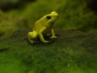 İlk Kez Fosforlu Kurbağa Bulundu