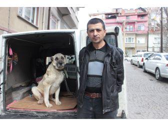 Yaralı Ve Hasta Köpek Tedavi İçin Eskişehir'e Gönderildi