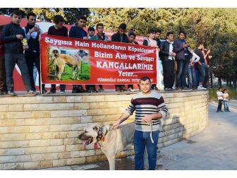 Hollanda'ya Kangal Köpekli Tepki