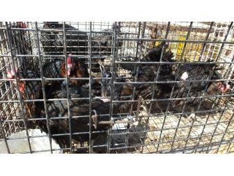 Köy Tavukları Geçim Kapısı Oldu