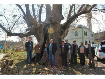 Büyükşehir Tarihin Tanıkları Anıt Ağaçlara Sahip Çıkıyor
