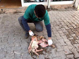 Şanlıurfa, Siverek'te 8 Ayaklı Kuzu Görenleri Şaşırttı