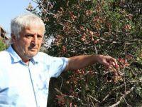 Karabük'te Menengiç Ağaçlarında Aşılamayla Antep Fıstığı Üretiliyor